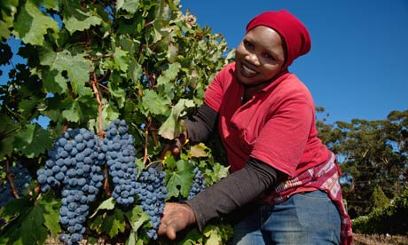 woman harvesting wine in South Africa
