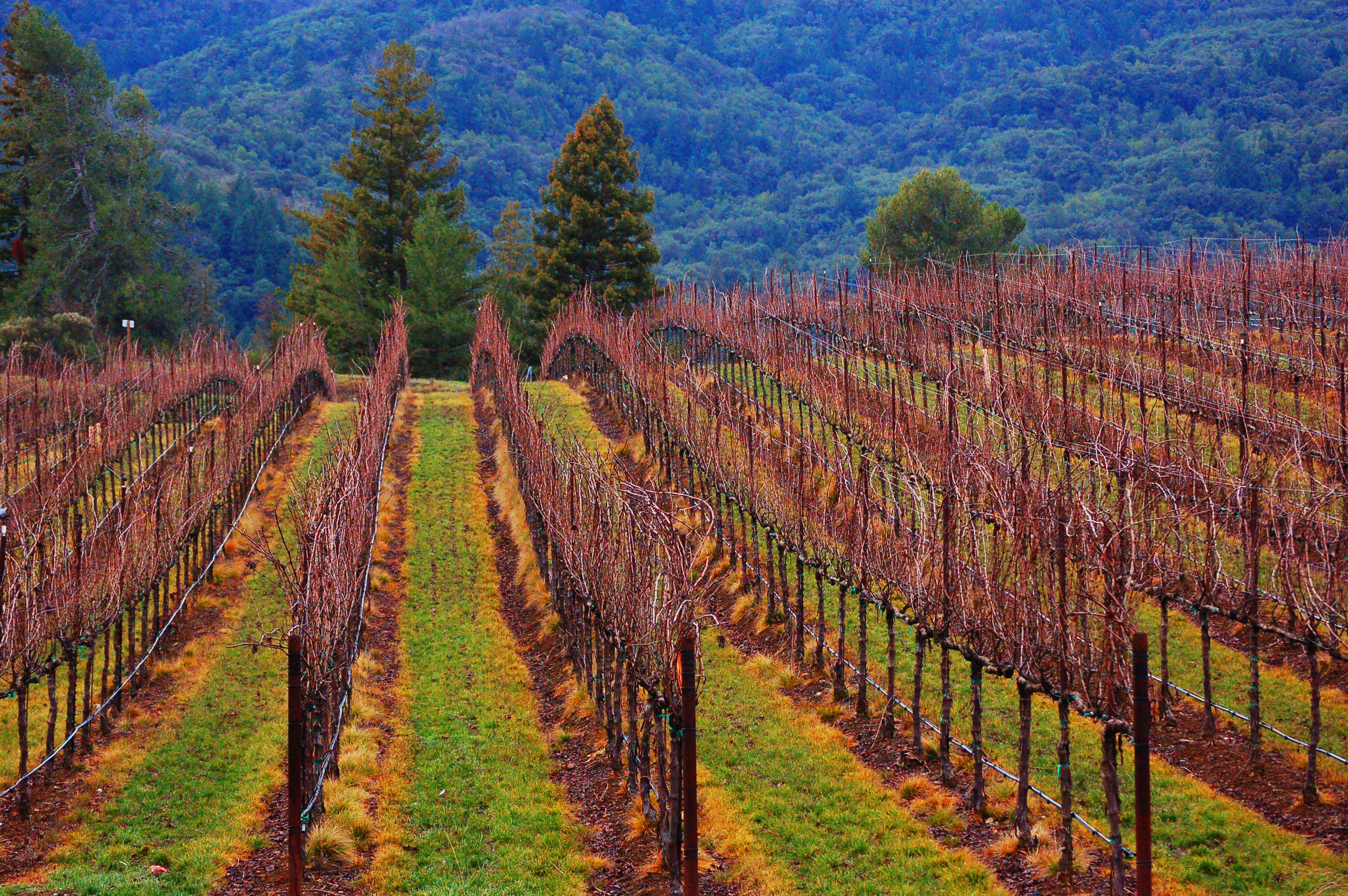Vineyard in California