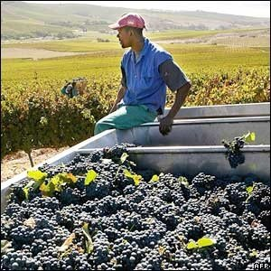 working on wine harvest South Africa